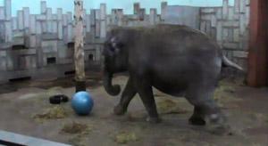 Уральская слониха тоже любит фитнес