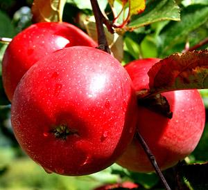 Свои яблоки следует снимать с веток, не ожидая пока они упадут на землю.