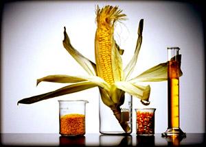 Биохимический состав кукурузы — настоящая кладовая, в которой можно отыскать витамины группы В, С и РР, а также минеральные вещества, медь, йод, фосфор, калий и фтор.