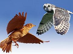 Хронотипы: совы, жаворонки и другие пернатые