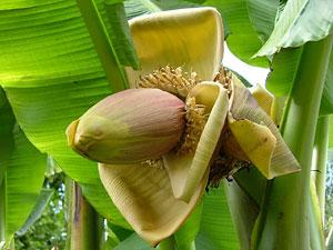 Банан — одно из самых древних культивируемых растений.