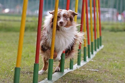 Аджилити — это соревнование собак на скорость и ловкость.