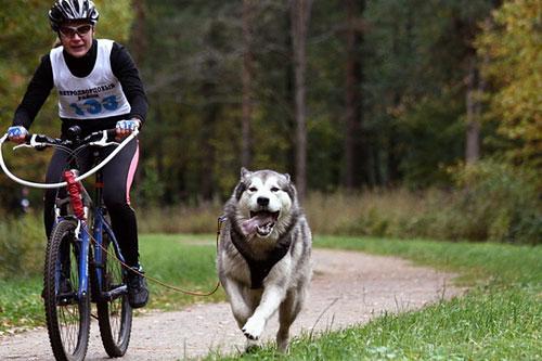 Байк-джоркинг представляет собой разновидность ездового спорта. Если раньше собаки были в упряжках, то теперь они запрягаются в велосипед. Таким образом, проходят гонки хозяев и их питомцев.