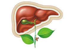 В результате длительной физической нагрузки в организме человека может накапливаться значительное количество продуктов распада, за выведение которых отвечает печень.