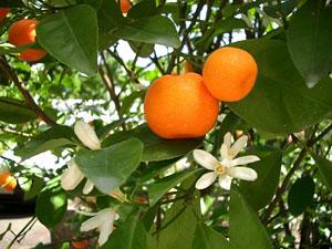 Мандарин на 89% состоит из воды. Плоды богаты клетчаткой, сахарами, белками, жирами и органическими кислотами.