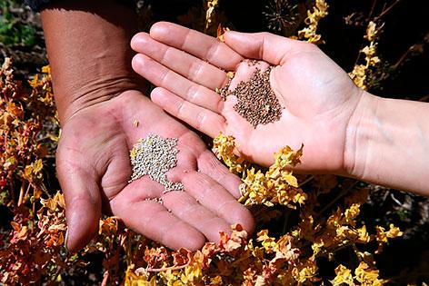 Древние зерна – сокровища индейцев